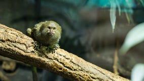 放松在分支的一只成人侏儒狨猴子 免版税库存图片