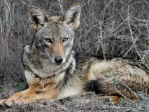 放松在南得克萨斯的土狼 库存图片