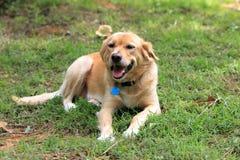 放松在后院的爱犬 库存图片