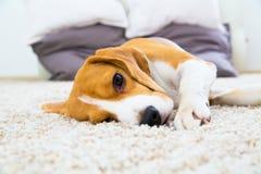 放松在地毯的狗 免版税库存照片