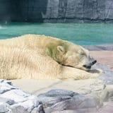 放松在太阳下的成人北极熊在新加坡动物园里 免版税库存照片