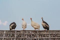 放松在屋顶的四只珍珠鸡 免版税库存照片