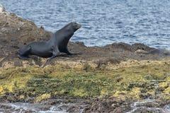 放松在岩石的加利福尼亚海狮封印 库存图片
