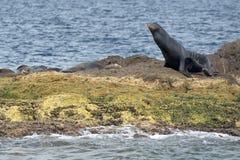 放松在岩石的加利福尼亚海狮封印 免版税库存照片