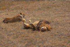 放松在干燥草原草的狮子和雌狮 免版税库存照片