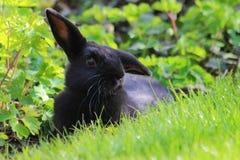 放松在庭院里的兔子在巴伐利亚在德国 图库摄影