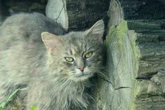 放松在庭院里的厚实的长发灰色尚蒂伊蒂凡尼猫画象  关闭肥胖雄猫 免版税图库摄影
