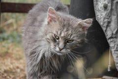 放松在庭院里的厚实的长发灰色尚蒂伊蒂凡尼猫画象  关闭肥胖雄猫 图库摄影