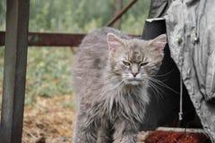 放松在庭院里的厚实的长发灰色尚蒂伊蒂凡尼猫画象  关闭肥胖雄猫 免版税库存照片