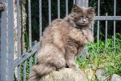放松在庭院里的厚实的长发灰色尚蒂伊蒂凡尼猫画象  关闭与大长的头发的肥胖母猫 免版税库存照片
