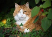 放松在庭院里的室外猫 库存图片
