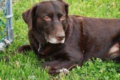 放松在新鲜的春天草的美丽的巧克力拉布拉多猎犬 库存图片
