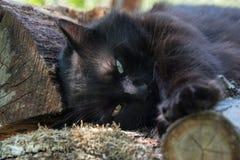 放松在木日志的庭院里的厚实的长的头发黑色尚蒂伊蒂凡尼猫画象  关闭肥胖雄猫 免版税库存照片