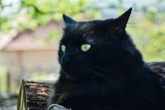 放松在木日志的庭院里的厚实的长的头发黑色尚蒂伊蒂凡尼猫画象  关闭肥胖雄猫 免版税图库摄影