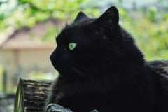 放松在木日志的庭院里的厚实的长的头发黑色尚蒂伊蒂凡尼猫画象  关闭肥胖雄猫 库存图片