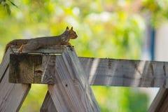 放松在木围场摇摆的一只红松鼠 免版税库存照片