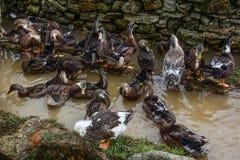放松在村庄的鸭子 免版税库存图片