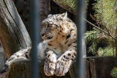 放松在树桩的雪豹 库存图片