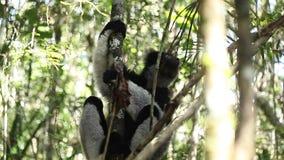 放松在树的Indri狐猴 股票视频