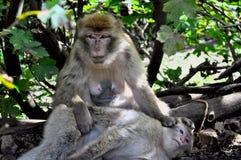放松在树荫下的一只老母猴子 免版税库存图片