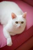 放松在沙发的白色猫 免版税库存图片