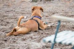 放松在沙子的布朗狗 免版税图库摄影