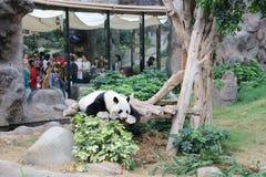 放松在海洋公园的动物园的熊猫在hk 免版税库存照片