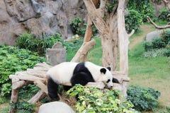 放松在海洋公园的动物园的熊猫在hk 库存照片