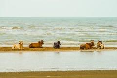 放松在海滩的母牛 库存照片