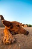 放松在海滩的狗 免版税库存照片