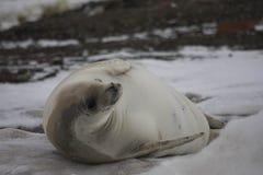 放松在海滩的食蟹动物封印 免版税库存照片