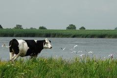 放松在海滨附近的母牛 免版税库存照片