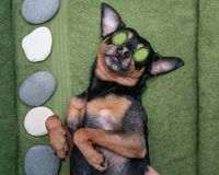 放松在温泉健康的Â逗人喜爱的宠物 与切片的狗在眼睛的黄瓜 修饰滑稽的概念, 免版税库存照片