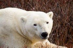 放松在灌木的北极熊 库存图片