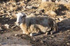 放松在牧场地的唯一绵羊 图库摄影