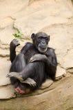 放松在石背景的黑猩猩 库存照片