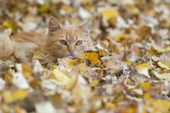 放松在秋叶的猫 免版税库存照片