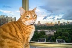 放松在窗口前面的冥想的红色猫画象  免版税库存照片