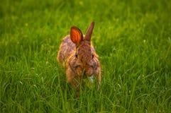 放松在草的兔子 免版税库存照片