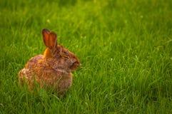 放松在草的兔子 免版税图库摄影