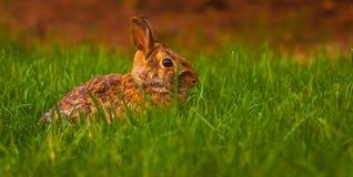 放松在草的兔子 免版税库存图片