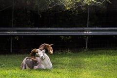 放松在草的好奇石山羊 免版税库存照片