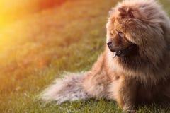 放松在草的毛茸的中国咸菜狗 免版税库存图片
