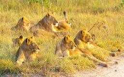 放松在草的非洲狮子自豪感在南非 免版税库存图片