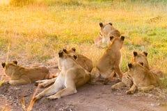 放松在草的非洲狮子自豪感在南非 库存照片