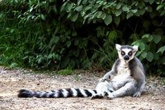 放松在道路的狐猴在动物园Plzeň里 免版税图库摄影
