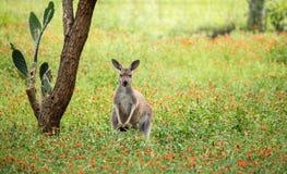 放松在野花的红色袋鼠 免版税图库摄影