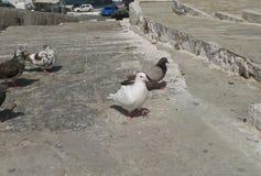 放松在阳光下的白色鸠和另一只鸽子在海滩前米科诺斯岛海岛 免版税库存照片