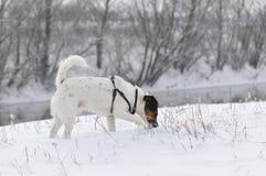 放松在雪的狗 免版税库存图片