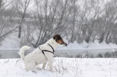 放松在雪的狗 免版税库存照片